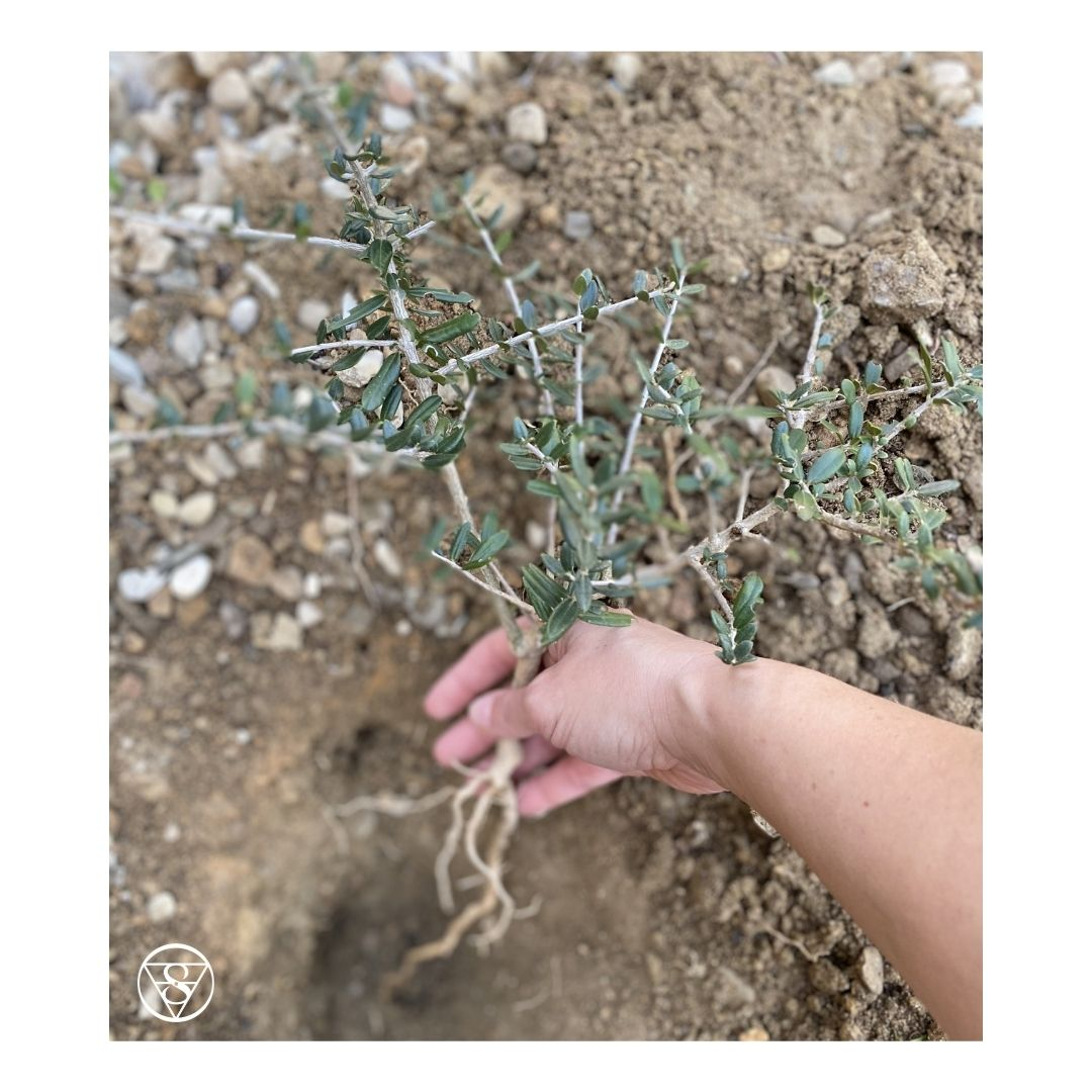 Le radici dell'olivo